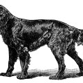 Gordon Setter illustration, black and white clip art, vintage animal clipart, dog engraving, setter dog sketch