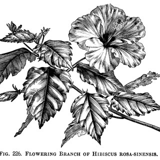 Hibiscus Rosa-Sinensis Floral Clip Art