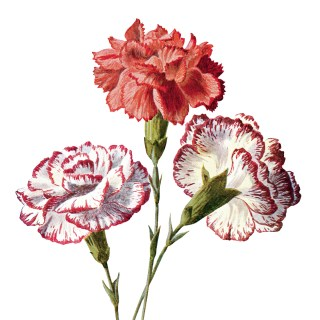 Free Vintage Carnation Flowers Clip Art