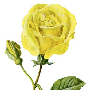 Free Vintage Clip Art Yellow Rose