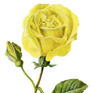 Free Vintage Clip Art Yellow Rose