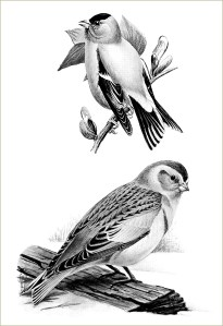 free vintage birds illustration snowflake goldfinch