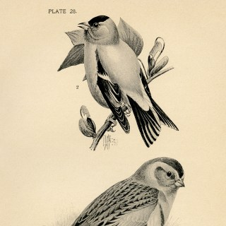Free Vintage Printable Birds Illustration