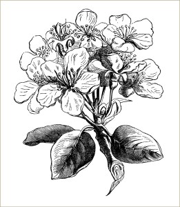 free vintage clip art pear blossom black and white engraving