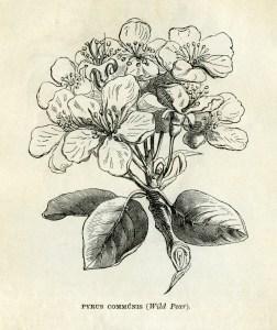 free vintage clip art pear blossom