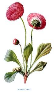 free vintage clip art double daisy pink flower illustration