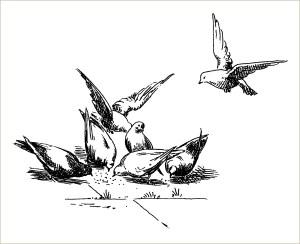 free vintage bird clip art pigeons eating