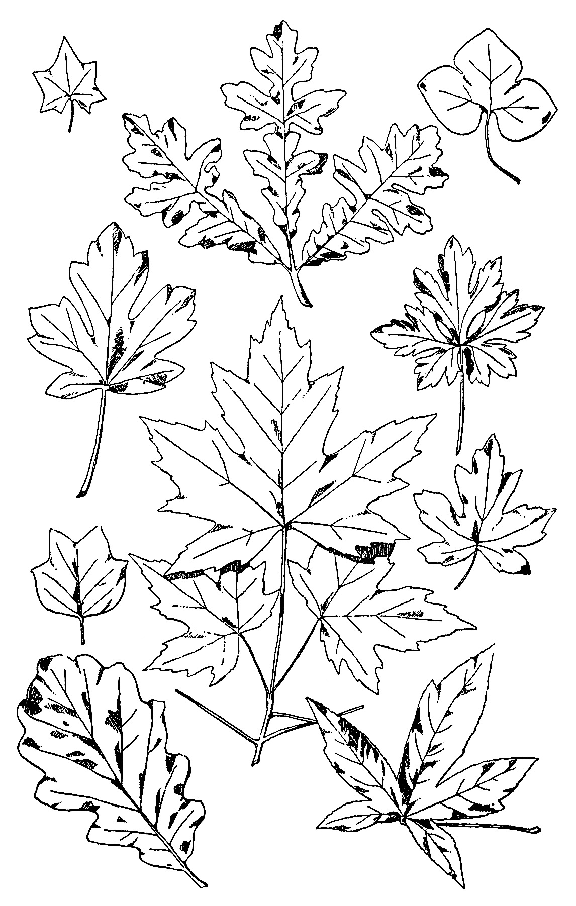 Various Leaves Free Vintage Clip Art
