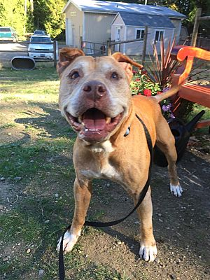 Image result for 12 year old pit bull