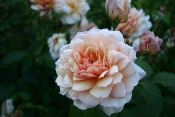 Rose in Christchurch botanical gardens.