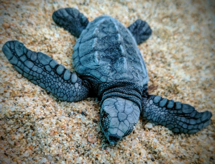 Baby leatherback turtle resting on sand.