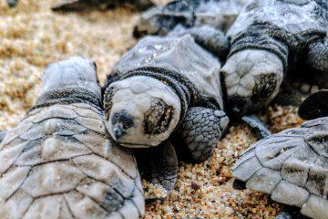 Freshly hatched baby leatherback turtle