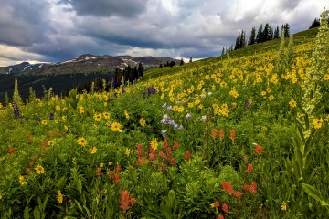 Field of wildflowers with mountains in the background.