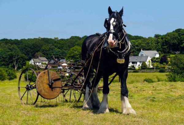 Ben the shire horse