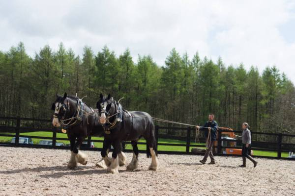 Working the shire horses