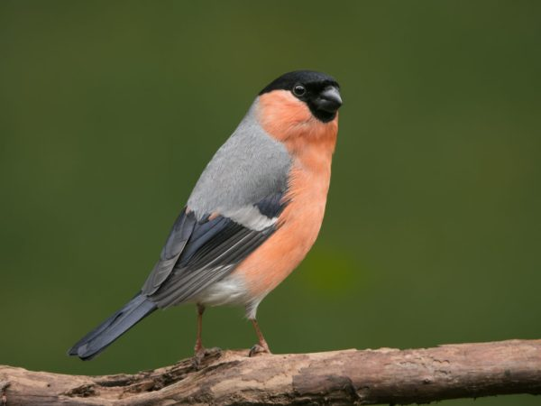 male bullfinch 5099