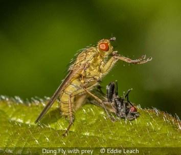 Eddie Leach_Dung Fly with prey