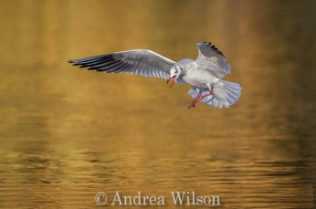 Commended_Andrea Wilson_Autumnal black headed gull