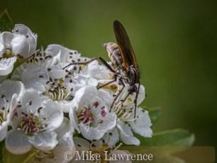 Dance Fly - Empidinae Feeding on Nectar