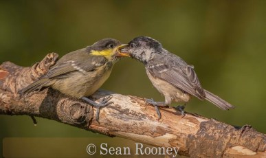 Great tit - ( Parus major) feeding young