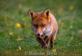 Highly Commended_Malcolm Doyle_Red Fox Hunting