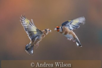 Squabbling goldfinches