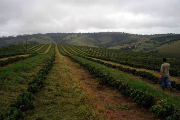 4 month old coffee trees grass control system sustainable method BRAZIL - CAMPO ALEGRE
