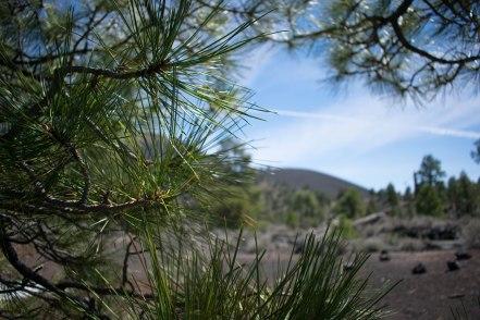 Lava Flow Trail Pine Needles Flagstaff 2