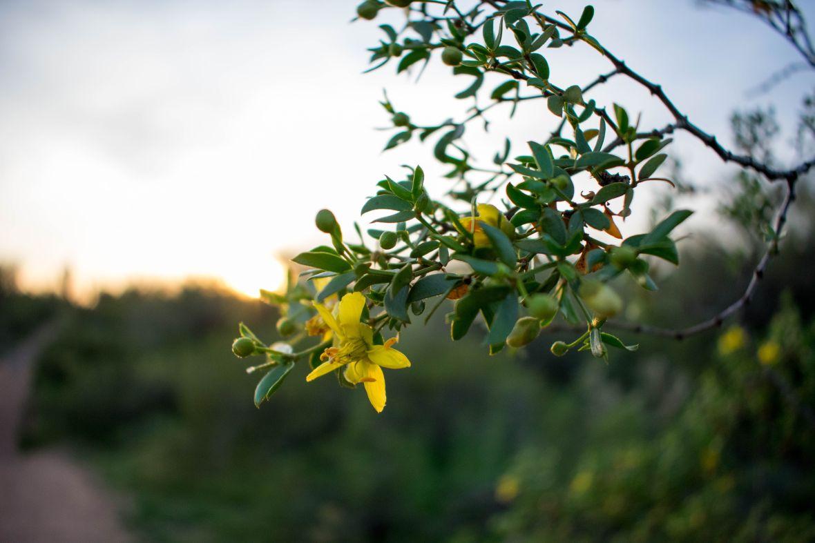 Apache Trail Desert Flower