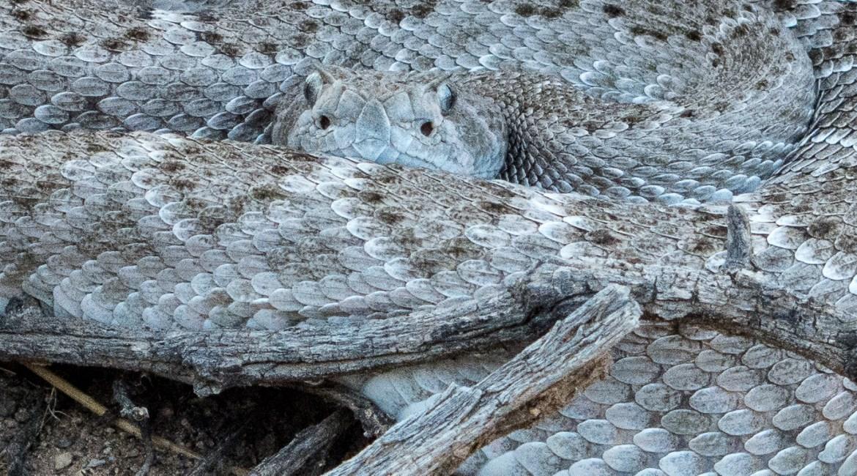 Apache Wash Rattlesnake Hiking Arizona Rusty Ward