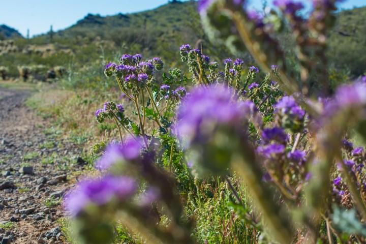 Desert Wildflowers Hiking Arizona