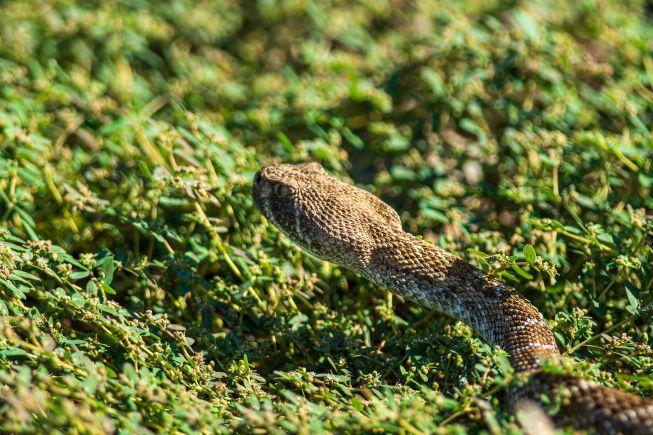 Arizona Diamondback Rattlesnake