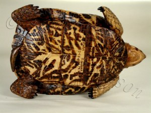 Bottom side of Wooden box turtle hand carved by Dylan Goodson