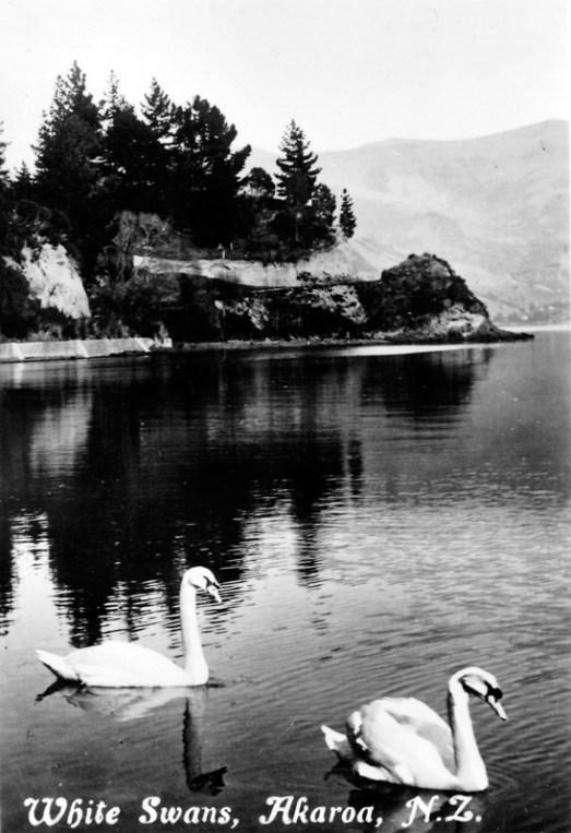 Swans in Akaroa