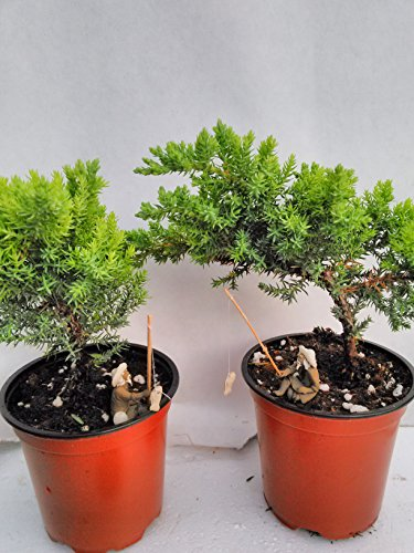 Jmbamboo - Two Tree Bonsai Juniper Garden 4'' Pot with Fishman