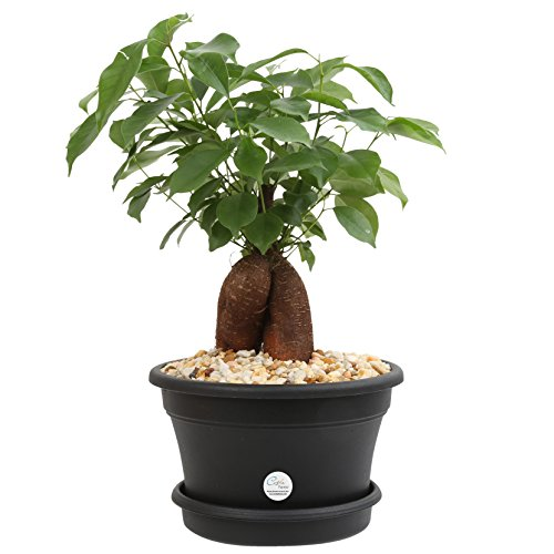 Costa Farms Ficus Bonsai Live Indoor Tabletop Plant in 6-Inch Plastic Pot
