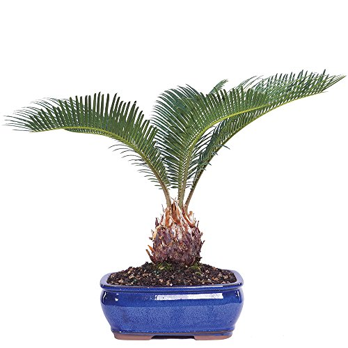 Brussel's Live Sego Palm Indoor Bonsai Tree