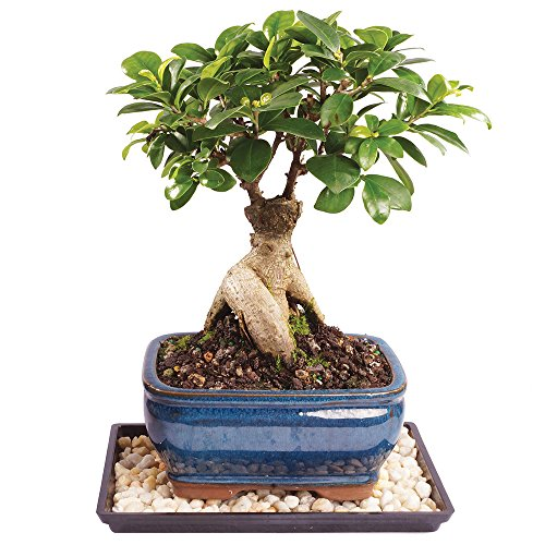 Brussel's Live Gensing Grafted Ficus Indoor Bonsai Tree