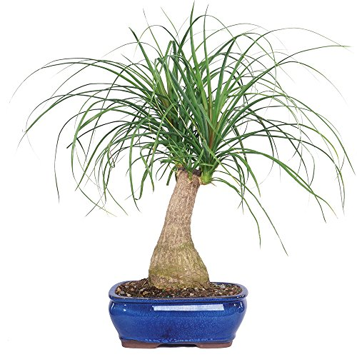 Brussel's Live Pony Tail Palm Indoor Bonsai Tree