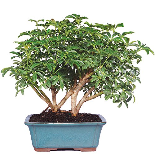 Brussel's Live Hawaiian Umbrella Indoor Bonsai Tree