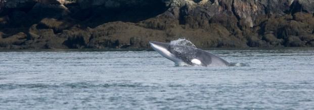 Minke_Whale_2