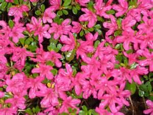 Pink azelea