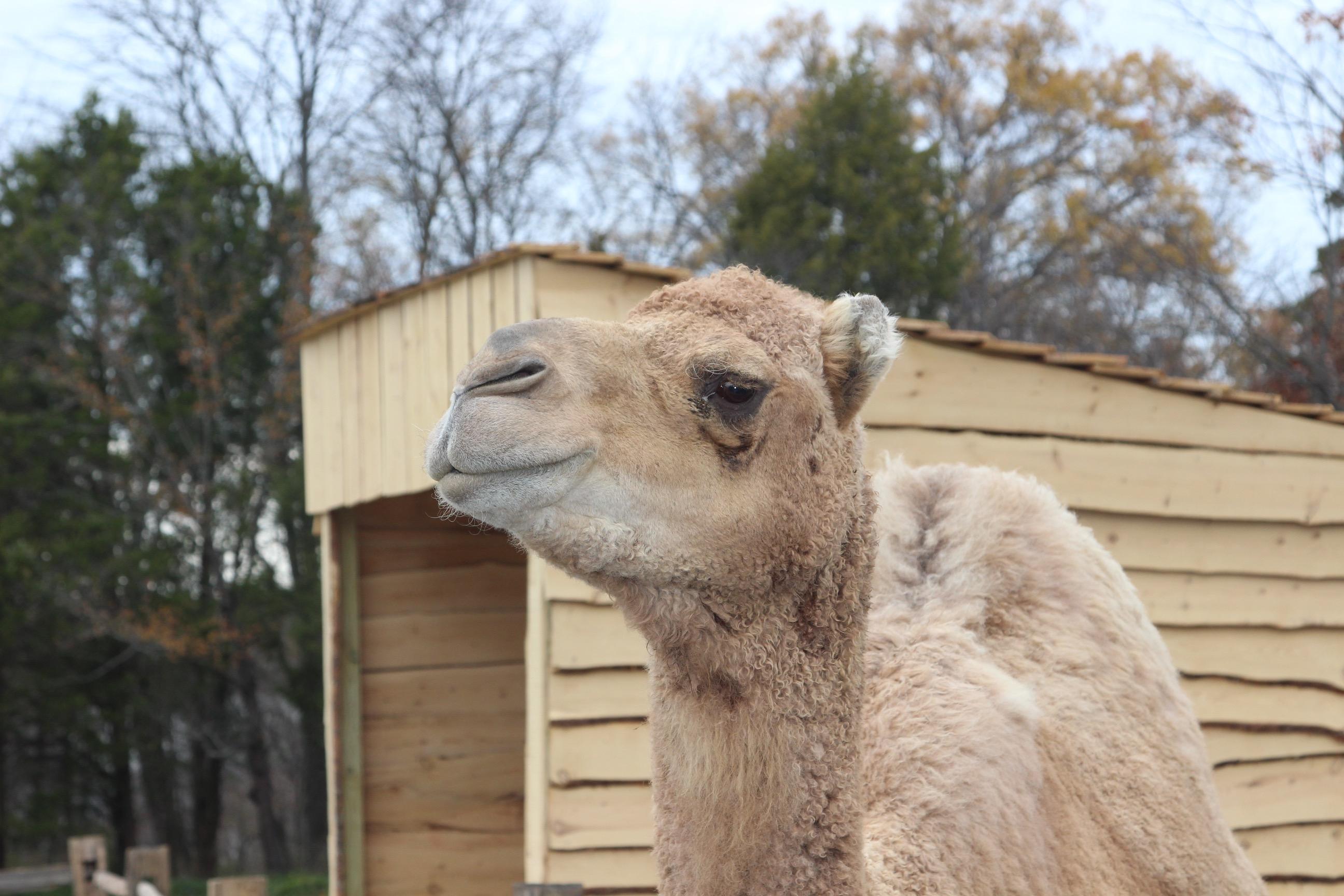 Aladdin – The Christmas Camel – Is On the Farm