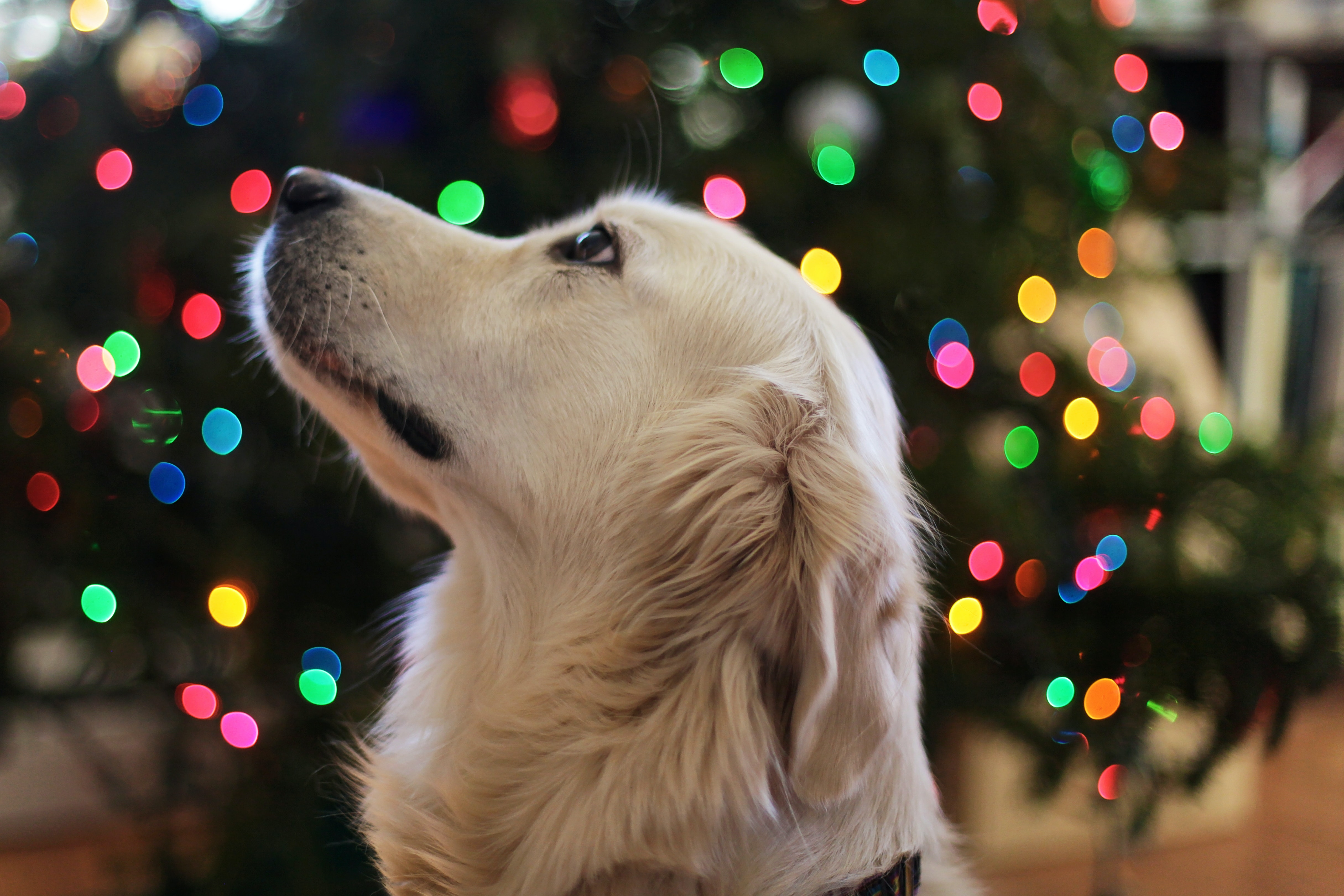 By Pets and the Holidays: A Commitment, Not a Gift, and Pet Proofing for the Holidays