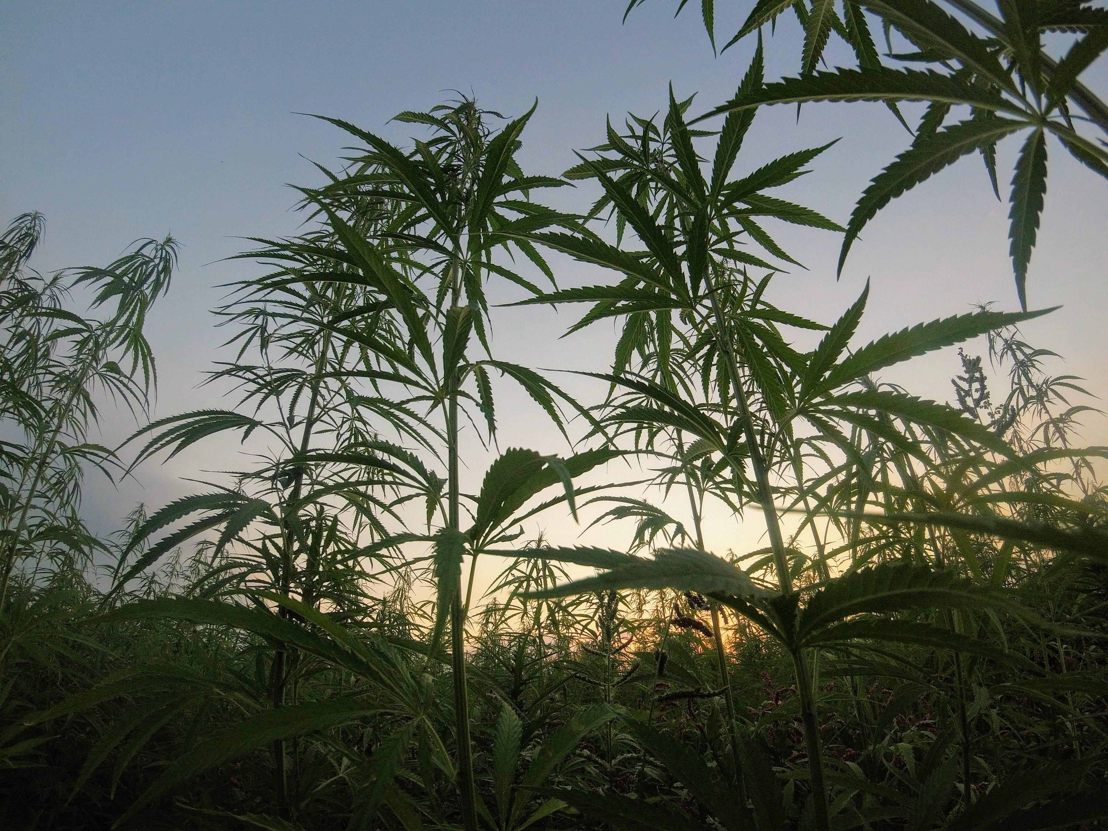 Marijuana – It's Legal!