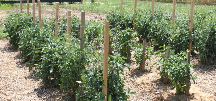 Stake A Cage – The Ultimate DIY Tomato Support