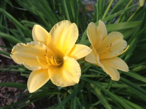 The Daylillies are beginning to bloom - a sure sign of late spring and summer.