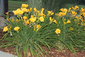 We created this bed of daylillies from a single plant division last summer.
