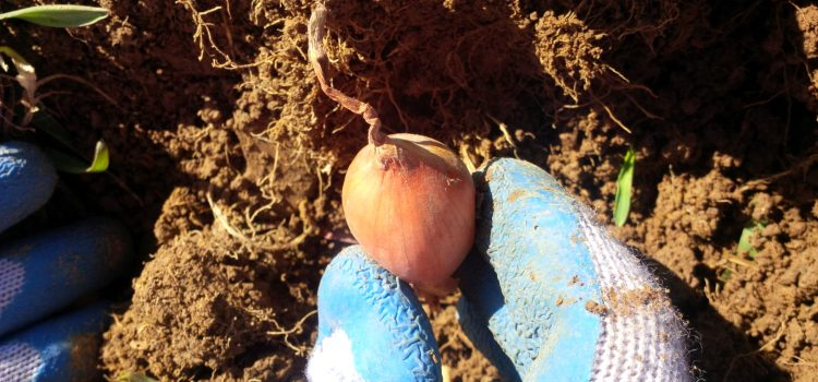 How To Plant Onions This Fall For A Great Crop Next Year