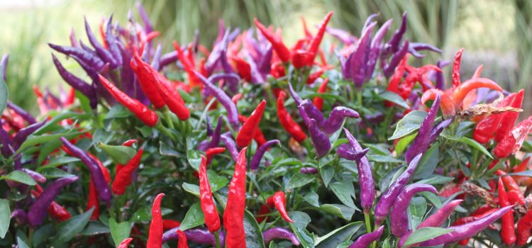 6 Ornamental Pepper Plants To Grow This Year